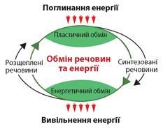 Картинки по запросу Схема обміну речовин та енергії